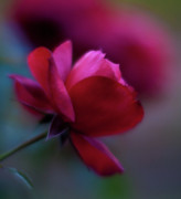 Red Rose Photos - Rouge by Mike Reid