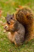 Fox Squirrel Framed Prints - Rough Around The Edges  Framed Print by James Marvin Phelps