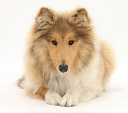 Collie Posters - Rough Collie Poster by Mark Taylor