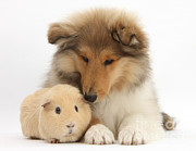 House Pets Posters - Rough Collie Pup And Yellow Guinea Pig Poster by Mark Taylor