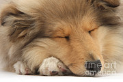 Sleeping Dog Prints - Rough Collie Pup Print by Mark Taylor