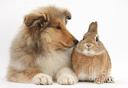 House Pets Posters - Rough Collie Pup With Rabbit Poster by Mark Taylor