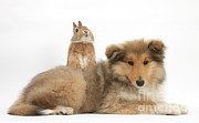 Collie Posters - Rough Collie Pup With Sandy Netherland Poster by Mark Taylor
