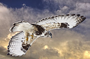 Aggressive Digital Art - Rough Legged Hawk in Flight by Mark Duffy