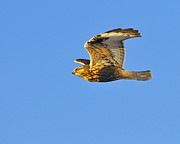 Buzzard Art - Rough-legged Hawk by Tony Beck