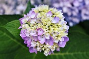 Purple Hydrangeas Framed Prints - Round Hydrangea Framed Print by Cathie Tyler