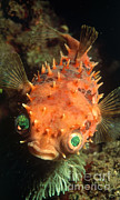 Porcupine Fish Art - Rounded Porcupine Fish by Nature Source