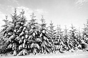 Row Of Evergreen Trees Are Laden With Snow Print by Gail Shotlander