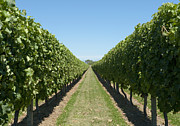 Grape Leaves Prints - Row of Grapevines in Vineyard Print by Dave & Les Jacobs