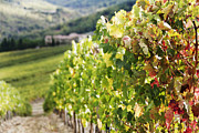 Grape Leaves Photo Posters - Row of Grapevines in Vineyard Poster by Jeremy Woodhouse