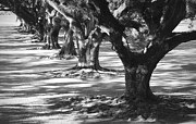 Oaks Photo Prints - Row of Oaks - Black and White Print by Carol Groenen