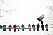 Mid-air Photo Posters - Row Of Pigeons On Wire Poster by Ernest McLeod