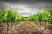 Winemaking Metal Prints - Row Of Vineyard Metal Print by Ellen van Bodegom