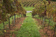 Virginia Wine Posters - Rows Of Grape Vines Poster by Roberto Westbrook
