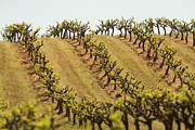 Grapevines Photos - Rows Of Grapevines Growing by Phil Schermeister
