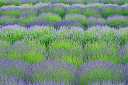 Rows Of Lavender Print by Hegde Photos