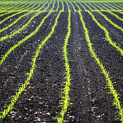 Lower Photos - Rows Of Maize Seeds by Baerbel Wilm
