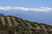 Olive Grove Posters - Rows of olive trees against the snowy Alpujarras mountains  in Andalusia Poster by Sami Sarkis