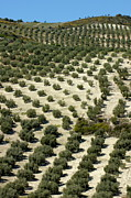Olive Grove Framed Prints - Rows of olive trees growing in the village of Baena Framed Print by Sami Sarkis