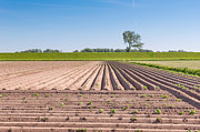 Agronomy Photos - Rows of soil and young potato plants by Ruud Morijn
