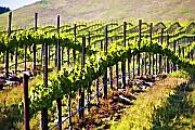 Vineyard Landscape Digital Art Prints - Rows of Vines Print by Patricia Stalter