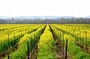 Vineyards Photos - Rows of Wild Mustard by Tom Reynen