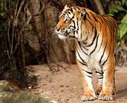 Zoo Photo Originals - Royal Bengal tiger by Anek Suwannaphoom