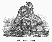 1901 Posters - Royal Bengal Tigers Poster by Granger