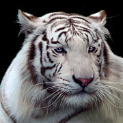 Siberian Tiger Posters - Royal Bengal White Tiger Poster by Julie L Hoddinott