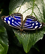 Royal Blue Posters - Royal Blue Butterfly 2 Poster by Terry Elniski