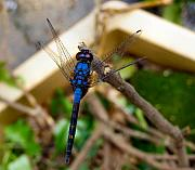 Kathy Daxon - Royal Blue Drangonfly...
