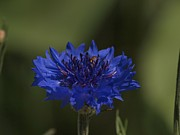 Royal Blue Prints - Royal Blue Flower with Hover Fly Print by Frank Piercy