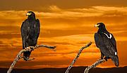 Prints Digital Art Originals - Royal Flush - African Black Eagles by Basie Van Zyl