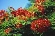 Regia Prints - Royal Poinciana Print by Bob Abraham - Printscapes