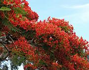 Blooming Trees Prints - Royal Poinciana Branch Print by Mary Deal