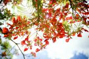 Regia Prints - Royal Poinciana Branches Print by Kicka Witte - Printscapes