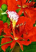 Red Flame Framed Prints - Royal Poinciana Framed Print by James Temple