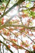 Regia Prints - Royal Poinciana Print by Kicka Witte - Printscapes