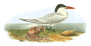 Shorebird Paintings - Royal Tern by John James Audubon