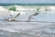 Melbourne Beach Prints - Royal Terns Print by Cheryl Davis