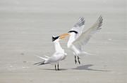 Black Top Acrylic Prints - Royal Terns  Acrylic Print by Kathy Gibbons