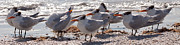 Forida Prints - Royal Terns Print by MJ Cadle
