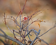 J Finch Art - Royalty In My Blood - House Finch by J Larry Walker