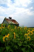 Flowers Sunflowers Barn Prints - Rt. 6 Sun Flowers Print by Paula Guttilla