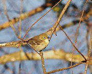 Ruby-crowned Kinglet Birds Photos - Ruby Crowned Kinglet by Billy  Griffis Jr