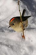 Ruby-crowned Kinglet Birds Photos - Ruby-crowned Kinglet by Joel Brady-Power