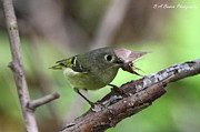 Ruby-crowned Kinglet Birds Photos - Ruby-Crowned Kinglet nabs a moth by Barbara Bowen