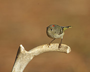 Ruby-crowned Kinglet Birds Photos - Ruby-crowned Kinglet by Steve Creek