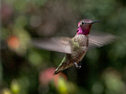 Hummingbird Photos - Ruby by Mike Herdering