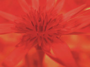 Macro Flower Prints - Ruby Print by Molly McPherson